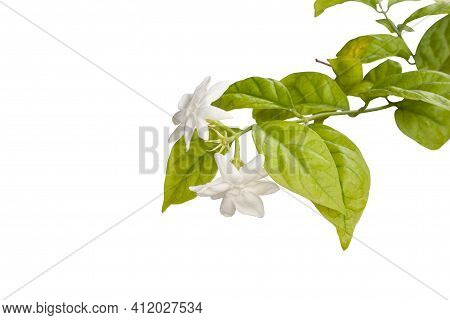 Jasminum Flower With Space Isolated On White Background Included Clipping Path.