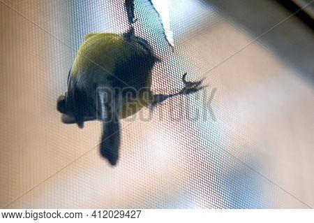 Bird Tit Pecked Through The Window Mesh, Close-up