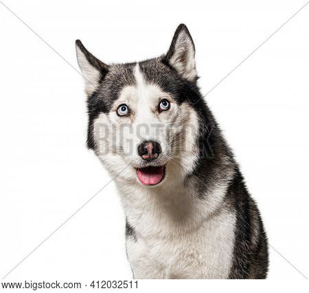 Guilty or intrigued Siberian Husky dog looking up, isolated on white