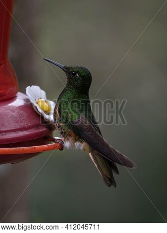 Isolated Green Buff-tailed Coronet Boissonneaua Flavescens Hummingbird Colibri Animal Bird Sitting A