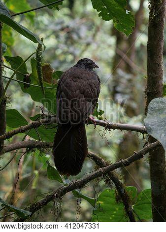 Closeup Macro Shot Of Andean Guan Penelope Montagnii Black Brown Chicken Turkey Bird In Valle Del Co