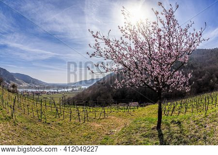Apricot Trees During Spring Time In Wachau Valley, Austria