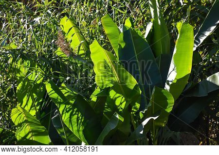 Beautiful Sunlit Banana Leaves With Revealed Leaf Texture