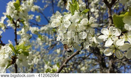 Spring Background In The Form Of Flowering Tree Branches With White Flowers Against A Blue Sky. Spri