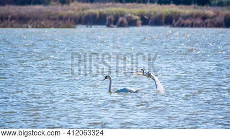 The Flight Of The Little Egret Over The Lake With White Swan. Small White Heron, Lat. Egretta Garzet