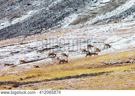 Herd Of Wild Siberian Ibex Grazes In High-altitude Meadows In Autumn. Male Ibex Feed On A Mountainsi