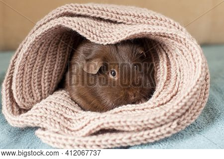 Funny Cute Guinea Pig Hiding In A Knitted Woolen Scarf . Selective Focus On The Guinea Pig Nose