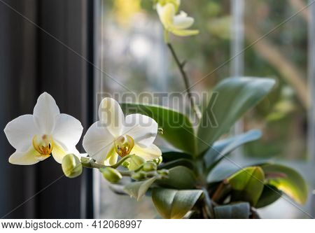 Orchid Potted Plant Blooming On Window Sill, Closeup View