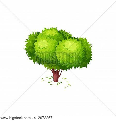 Tea Tree With Green Fallen Leaves Isolated Icon. Vector Green Tea Plant, Tree With Bushy Crone Sprin