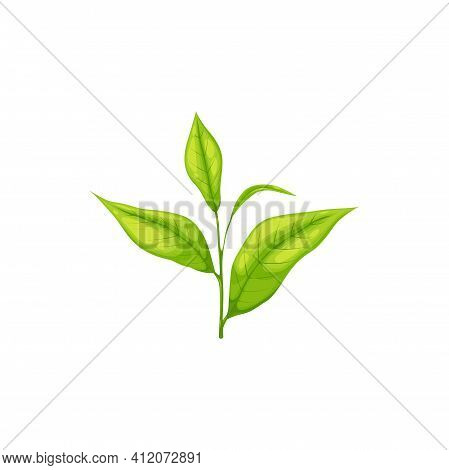 Realistic Green Or Black Tea Leaf Isolated Herbal Plant. Vector India, Ceylon Or Chinese Tea Leaves