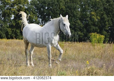 White Horse On Dry Grass In The Field. White Horse Grazes On A Pasture In The Forest And Eats Dry Gr