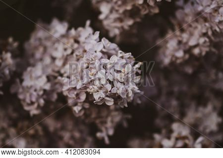 Syringa Or Lilac Flowers. Flowering Plant In Spring Garden Close Up.
