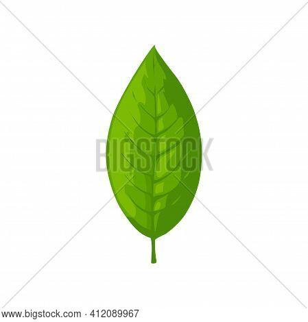 Tea Leaf Isolated Fresh Organic Plant. Vector Indian Or Ceylon, Chinese Foliage Sign, Organic Spring