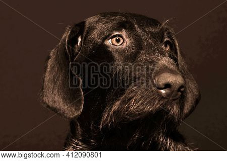 Portrait Of A Dog Is A German Hunting Breed, German Wire Hair. High Quality Photo