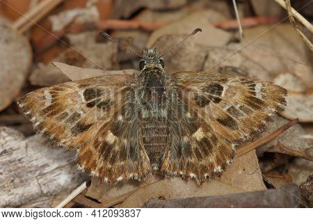 Closeup Of A Mallow Skipper,   Carcharodus Alceae, Well Camouflaged On The Ground In The Gard, Franc