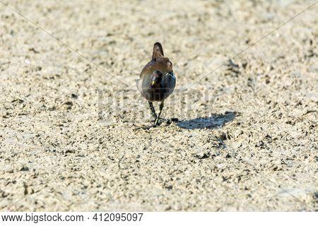 European Or Common Rail, (rallus Aquaticus) In The Albufera, Majorca Lake, Looking For Small Crustac