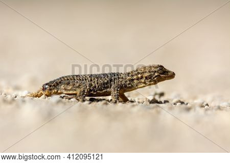 Moorish Gecko (tarentola Mauritanica), On The Ground, With His Tail Cut Off, On The Island Of Mallor