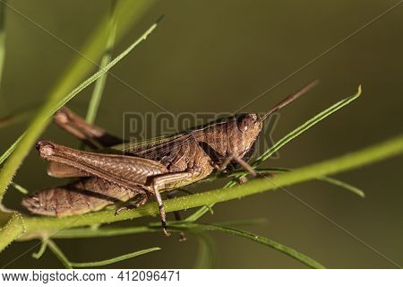 Locust Closeup, Brown Grasshopper Sits On Green Grass, Green Background, Hopper