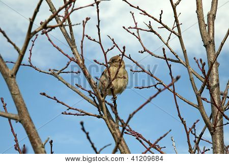Brown sparrow in blossom tree branches with buds against bright blue sky with white fluffy clouds above in the distance poster