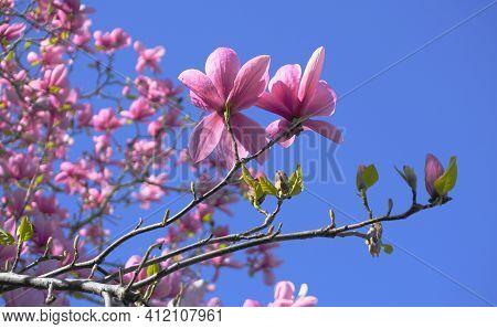 Magnolia Blossom Tree. Beautiful Magnolia Flowers Against Blue Sky Background Close Up. Japanese Mag