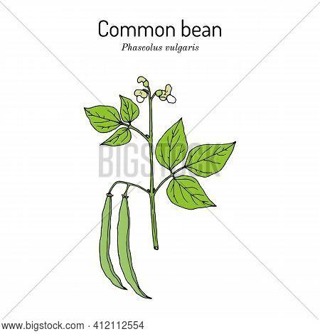 Common Bean Phaseolus Vulgaris , Or String Bean, Field Bean, Flageolet Bean, French Bean, Garden Bea