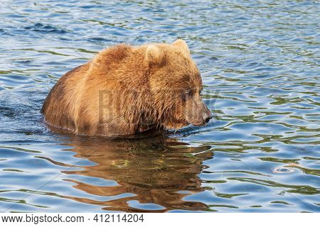Hungry Kamchatka Brown Bear Standing In River, Looking In Water In Search Of Food Red Salmon Fish. A
