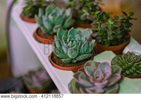Mix Of Pink And Green Flowering Echeveria, Sedum Succulent House Plants Arrangement Pot Background