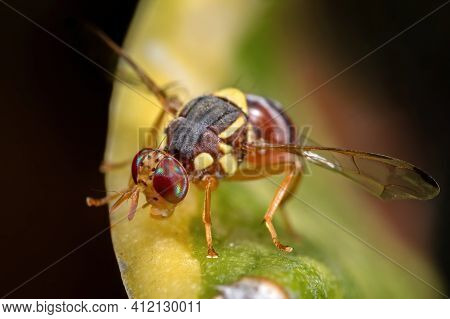 Macro Photography Of Wasp Mimic Fly On Leaf
