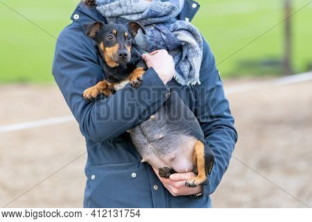 Womans Arms Hold A Pregnant Jack Russell Terier. The Dogs Big Belly Can Be Seen Clearly. Outside In