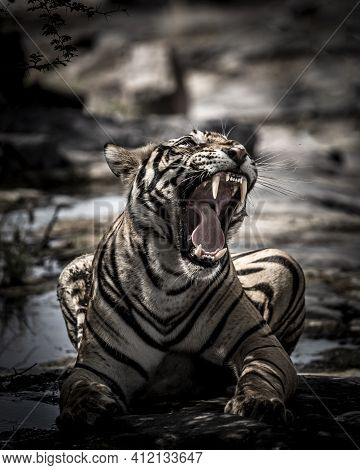 Fine Art Portrait Of Indian Wild Royal Bengal Male Tiger With Roar And Yawn At Ranthambore National