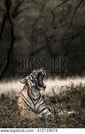 Fine Art Image Or Portrait Of Indian Wild Royal Bengal Tiger With Roar And Yawn At Ranthambore Natio