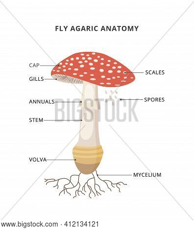 Amanita Muscaria Anatomy. Structure Mushroom Fly Agaric With Caption Of Parts. Bright Toxic Fungus W