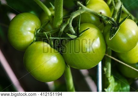 Red Round Tomatoes Solanum Lycopersicum For A Salad Or A Soup