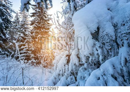 Snow Landscape. Snowy White Christmas Tree In Sunshine. Frost Forest Nature Scene With Beautiful Mor