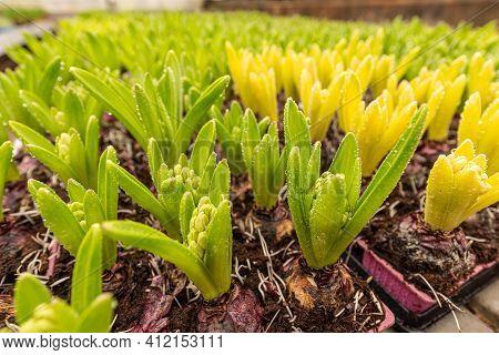 Bulbs Of Hyacinth Flowers In The Pots. Bulbs Of Hyacinth In Plant Nursery