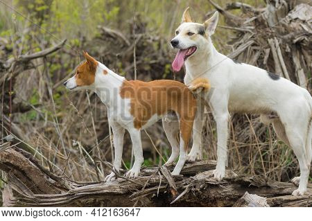 Big White Cross-breed Of Hunting And Northern Dog Guarding  Young Basenji While Smaller Dog Guarding