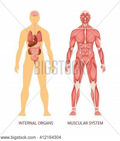 Human Body System. Human Body Muscular System And Internal Organs Heart, Liver, Brain, Kidneys, Lung