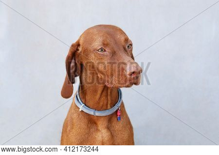 Beautiful Hungarian Vizsla Dog Portrait On Grey Backgound. Brown Family Dog Banner.