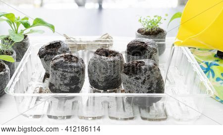 Peat Pellets Are Poured With Water From A Jug To Swell. Peat Pellets Soaked In Water Are Ready For P