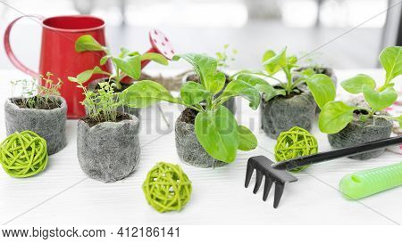 Growing Flower And Vegetable Seedlings In Peat And Coconut Pellets Indoors. The Use Of Peat Tablets