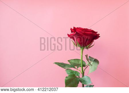 Red Rose On Pink Background. View With Copy Space.