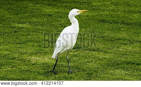 Egyptian White Egret Walks In Search Of Food. Egyptian White Egret Walks In Search Of Food.