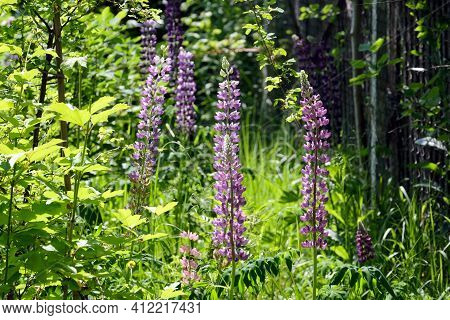 At The End Of Dense Wild Rural Garden With Blossom Fireweed Flowers On Bright Sunny Summer Day