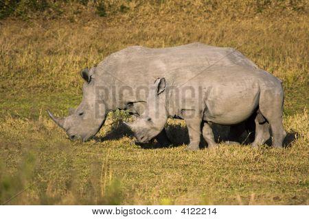Mother And Baby White Rhino
