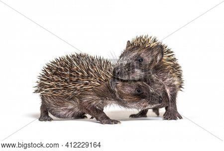 Two baby European hedgehog playing together