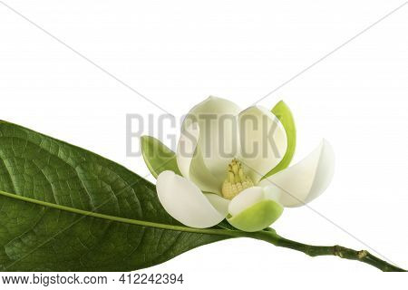White Magnolia Flower (magnolia Grandiflora) On White Background. Called Evegreen Magnolia, Bull Bay