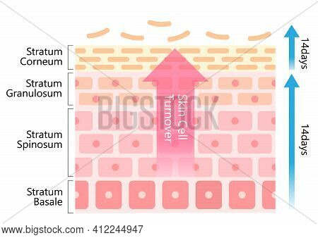 Skin Cell Turnover Diagram Illustration. Skin Care And Beauty Concept