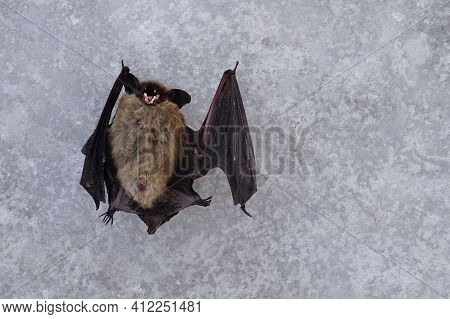 Dead Bat Lying On Its Back With Its Mouth Bared. The Corpse Of A Wild Animal, A Carrier Of A Viral D