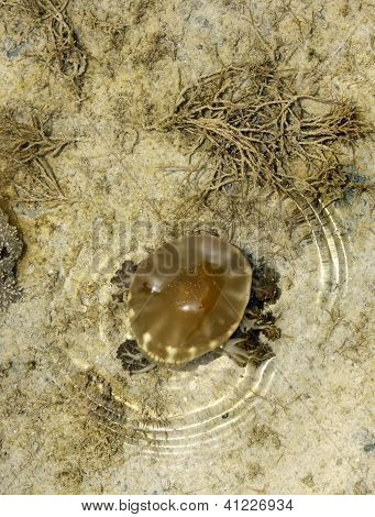 Jellyfish visible during low tide in sea of Bahrain