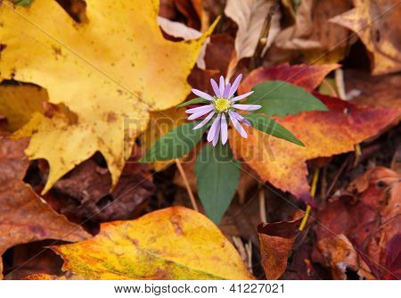big leaved lavender wood aster flower